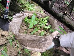 希少植物の移植